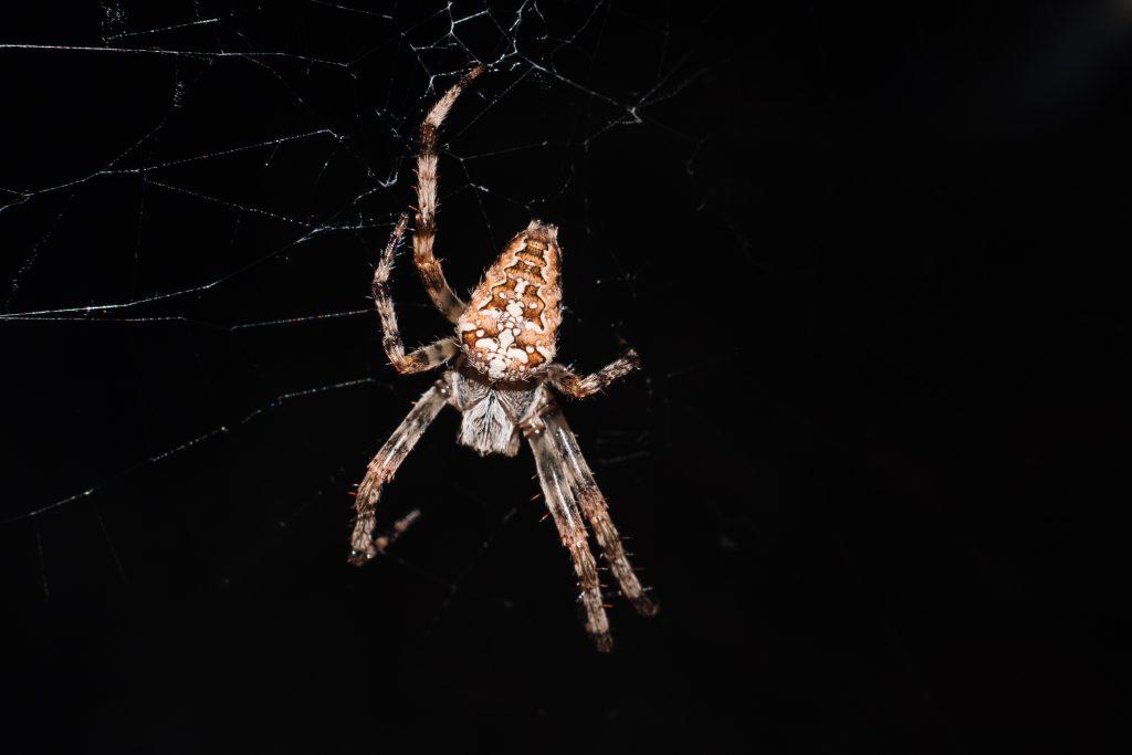 Spider on its web closeup 3 - free stock photo