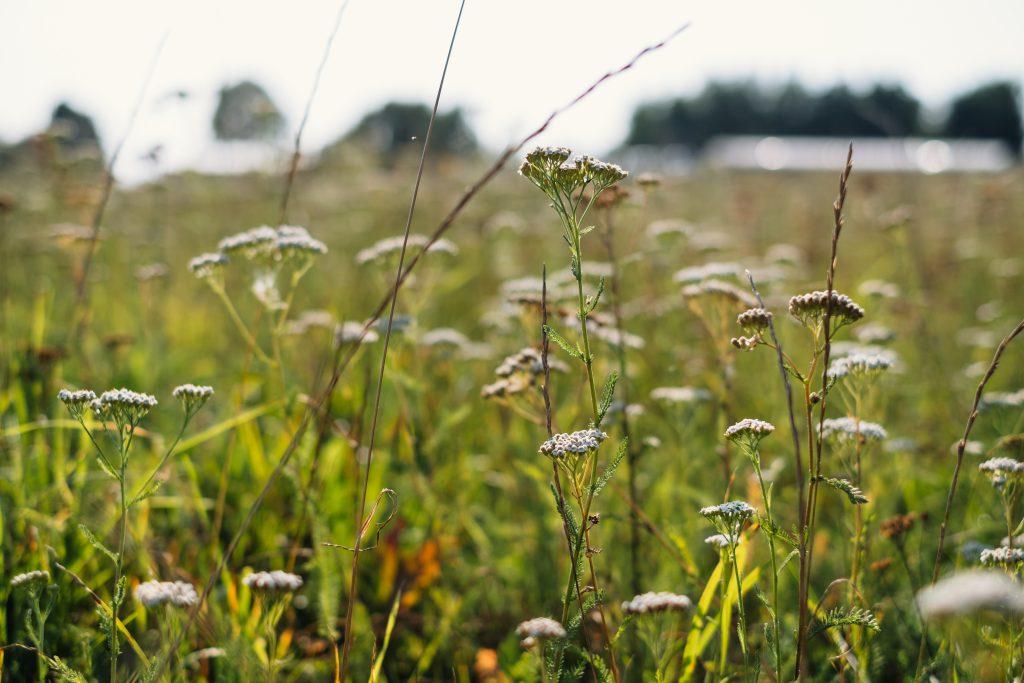 Wild flowers meadow 2 - free stock photo