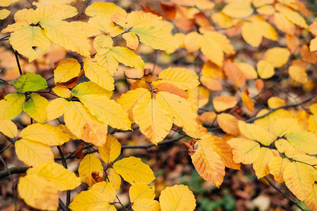 Autumn beech leaves - free stock photo