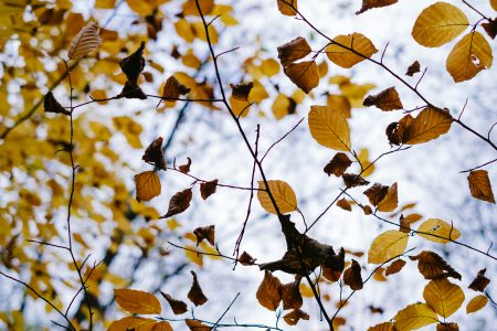 Autumn beech leaves 2 - free stock photo