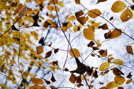 Autumn beech leaves 2 - free stock photo