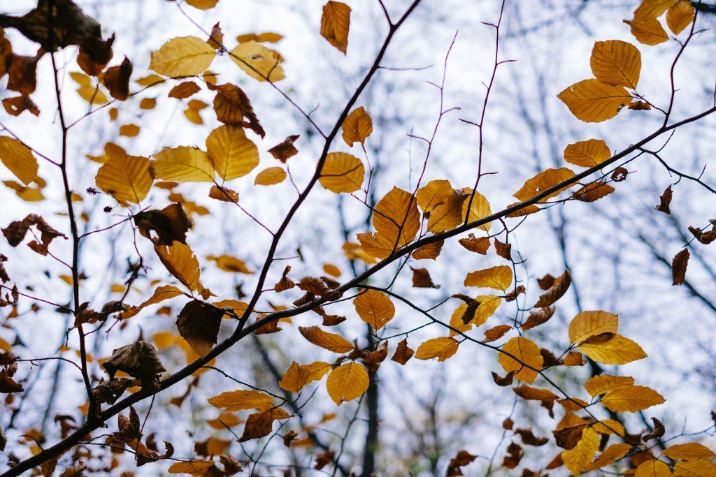 Autumn beech leaves 3 - free stock photo