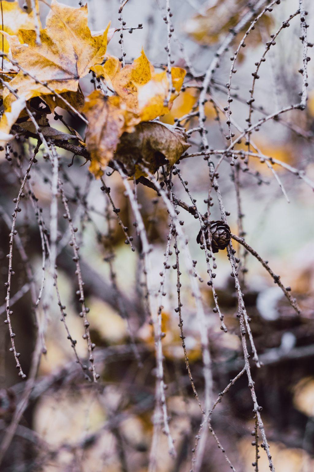 Autumn larch twigs 3 - free stock photo