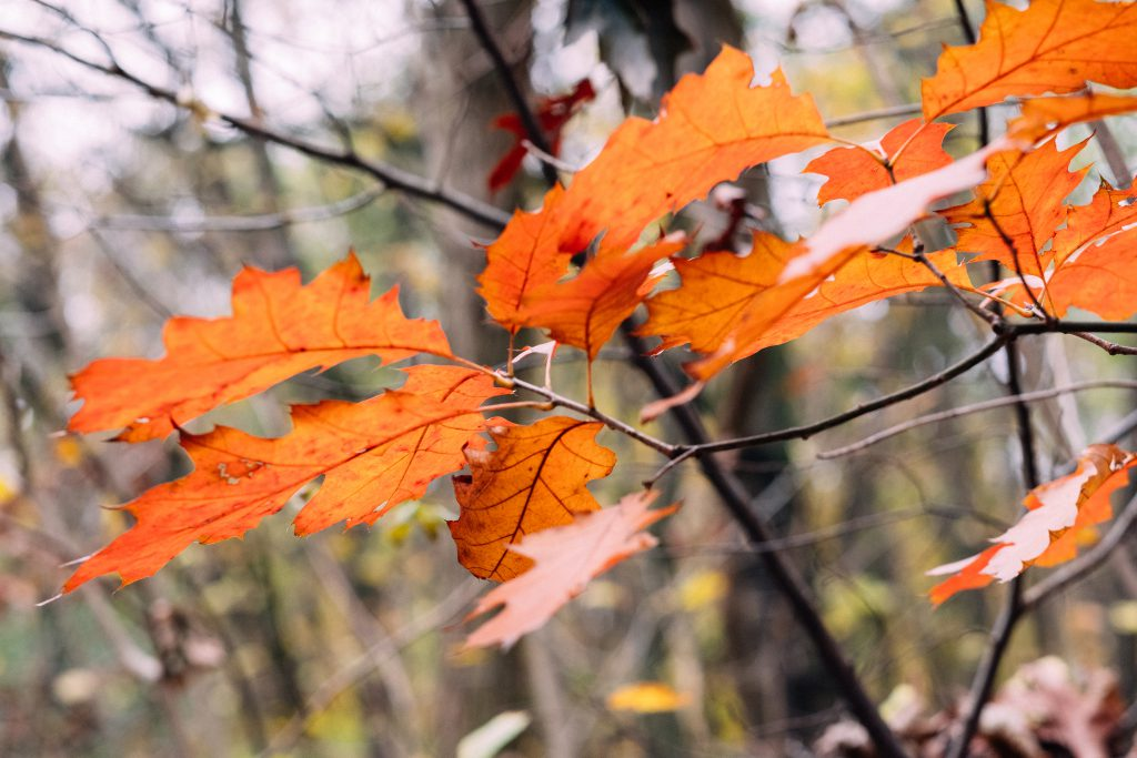 Autumn red oak leaves - free stock photo