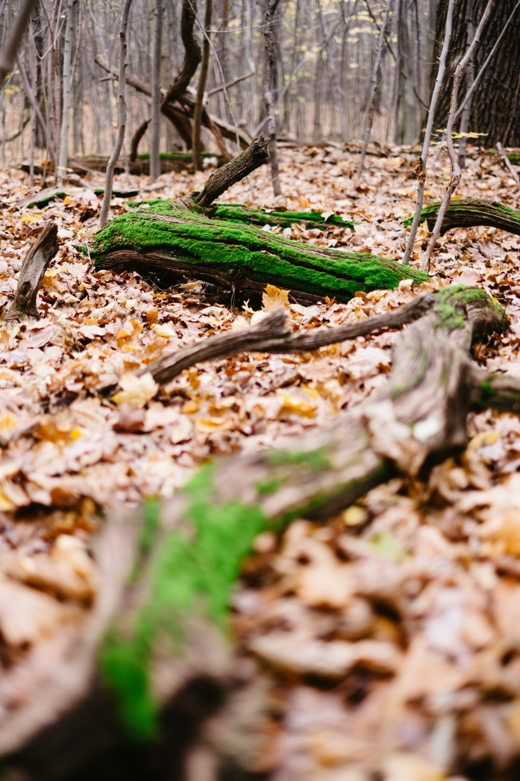 Fallen tree trunks covered in moss 2 - free stock photo