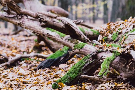 Fallen tree trunks covered in moss 4 - free stock photo