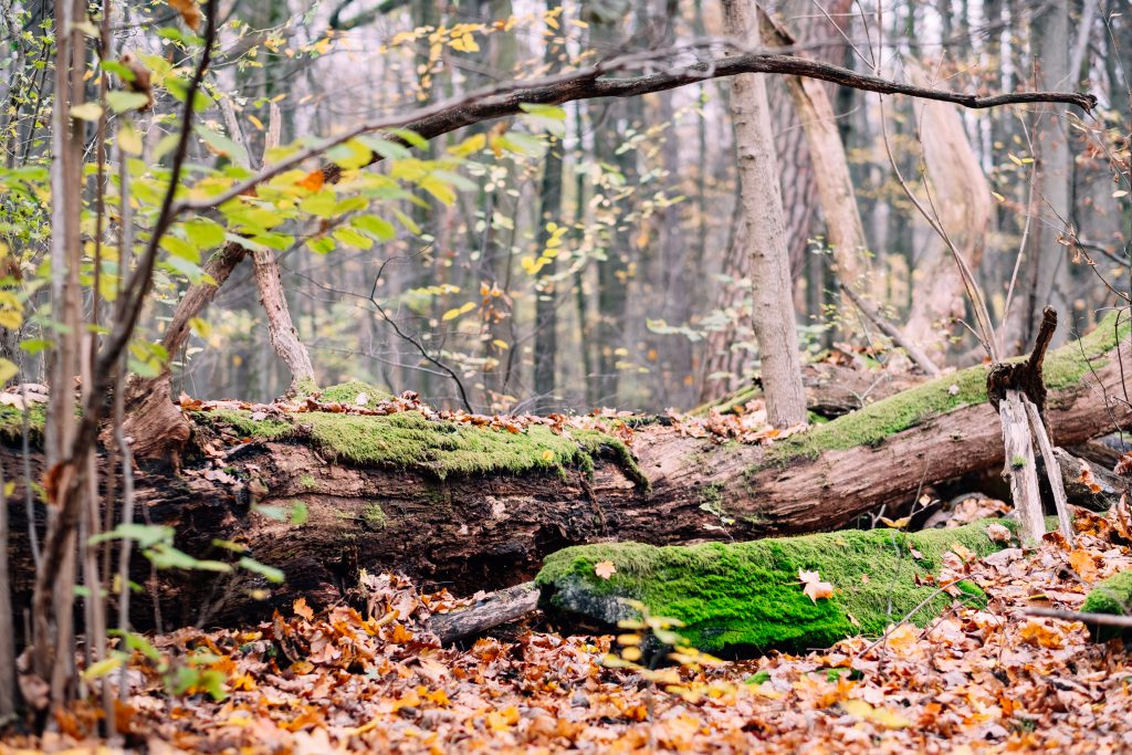 Fallen tree trunks covered in moss 5 - free stock photo