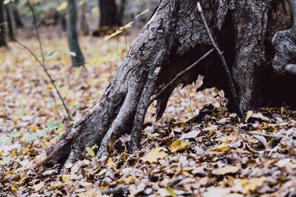 Old tree trunk base - free stock photo