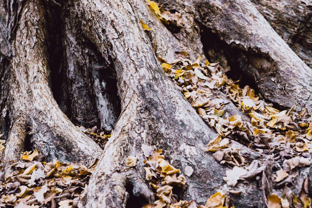 Old tree trunk base 2 - free stock photo