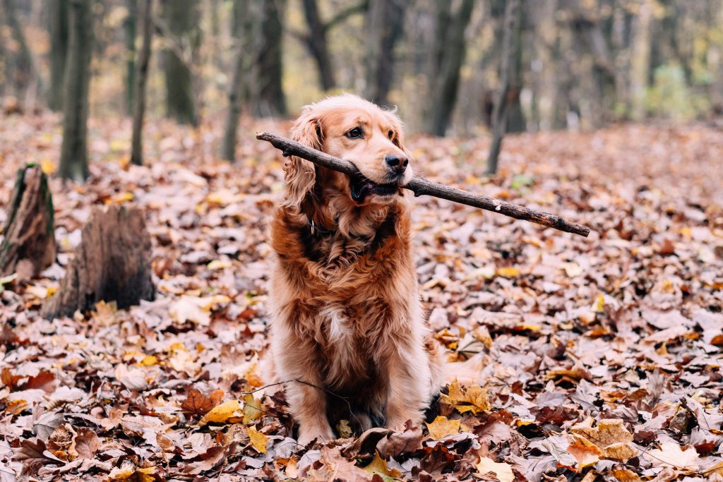 Red Golden Retriever in the forest - free stock photo