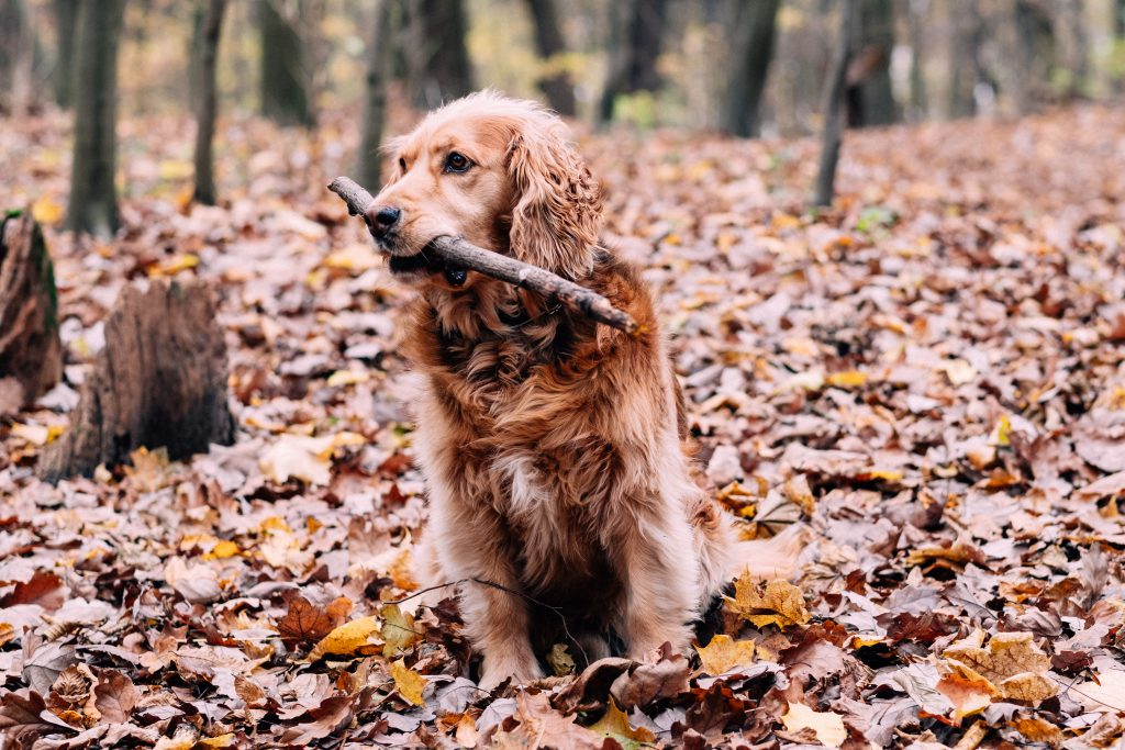 Red Golden Retriever in the forest 2 - free stock photo
