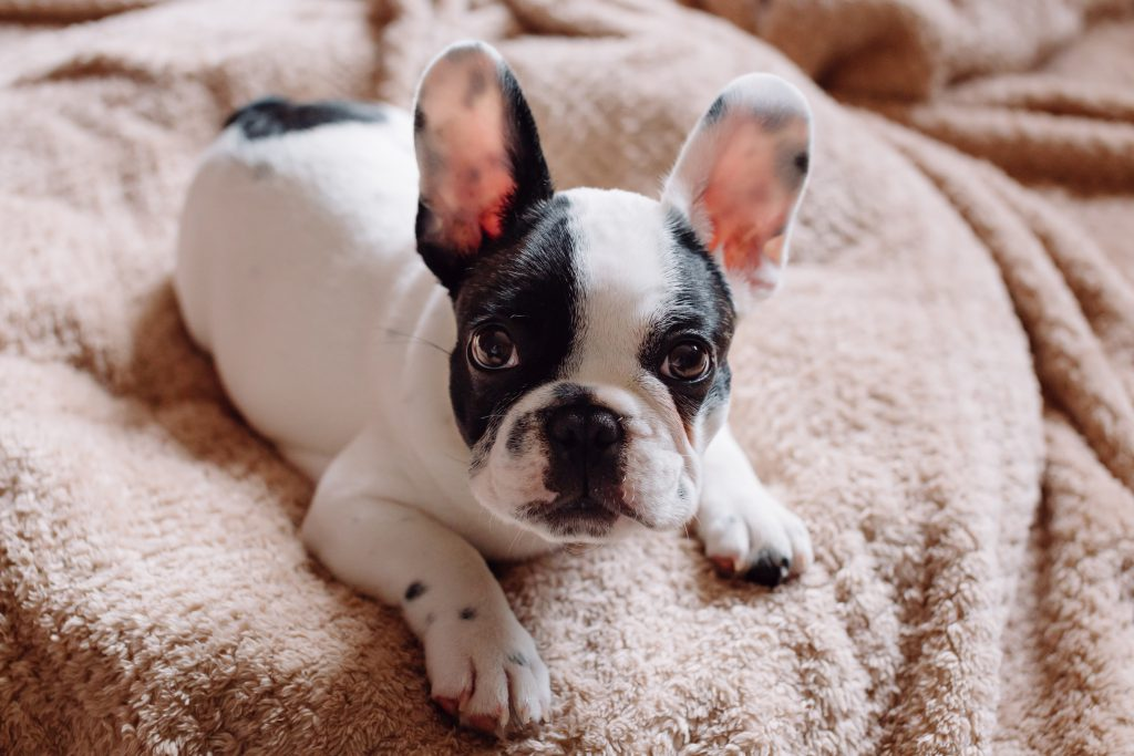 French Bulldog puppy 2 - free stock photo