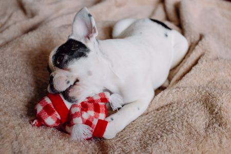 French Bulldog puppy chewing on a plush snowman - free stock photo