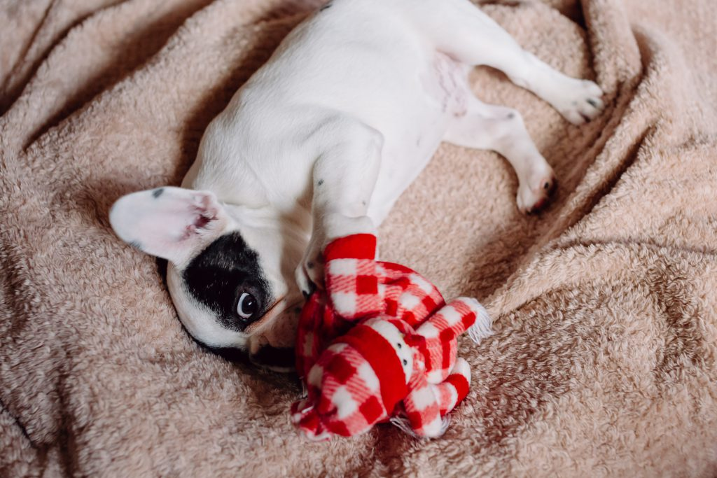 French Bulldog puppy chewing on a plush snowman 2 - free stock photo