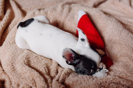 French Bulldog puppy chewing on a Santa hat - free stock photo