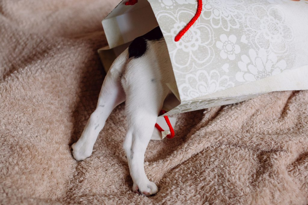 French Bulldog puppy hiding in a gift bag 3 - free stock photo