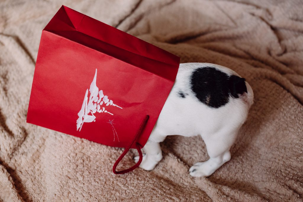 French Bulldog puppy hiding in a gift bag 4 - free stock photo