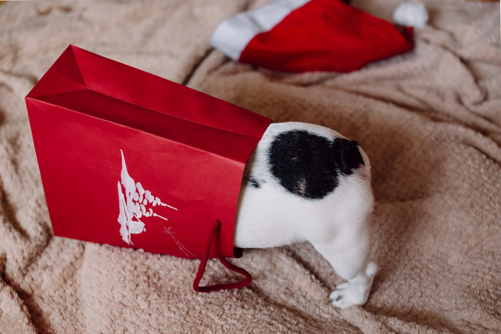 French Bulldog puppy hiding in a gift bag 5 - free stock photo