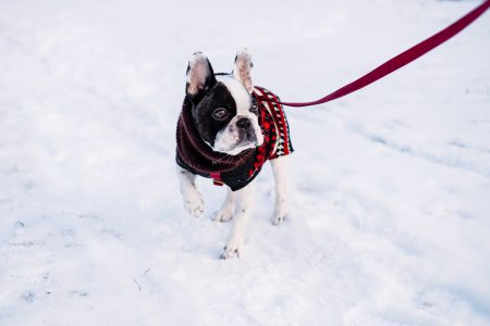 A French Bulldog wearing a sweater out in the snow - free stock photo