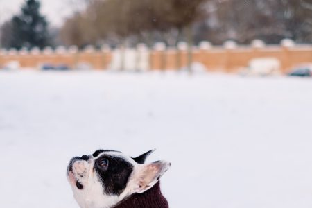 A french bulldog wearing a sweater out in the snow 3 - free stock photo