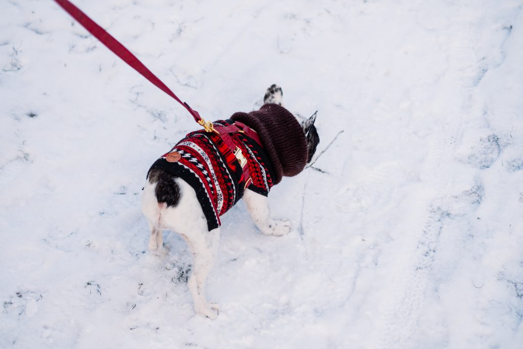 A french bulldog wearing a sweater out in the snow 4 - free stock photo