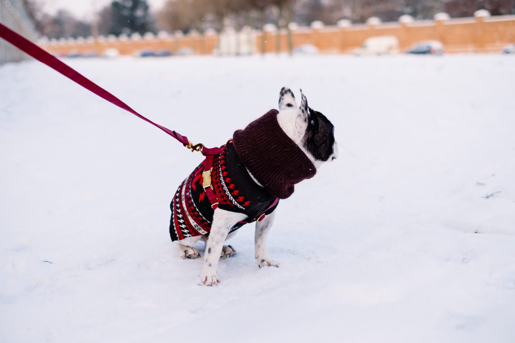 A french bulldog wearing a sweater out in the snow 5 - free stock photo