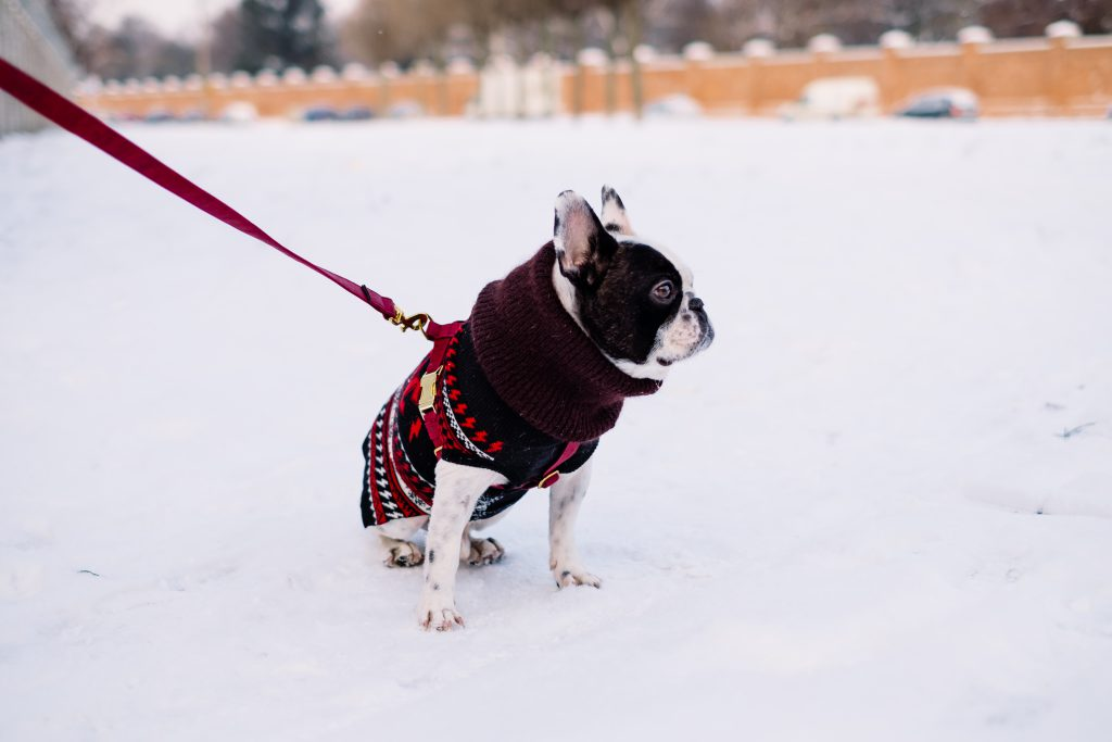 A french bulldog wearing a sweater out in the snow 6 - free stock photo