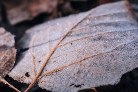 Frosted leaf closeup 3 - free stock photo
