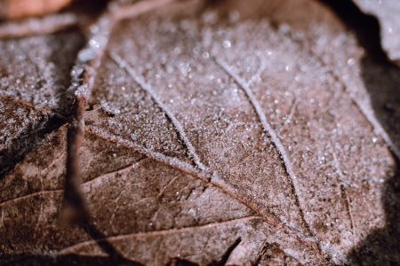 Frosted leaf closeup 4 - free stock photo