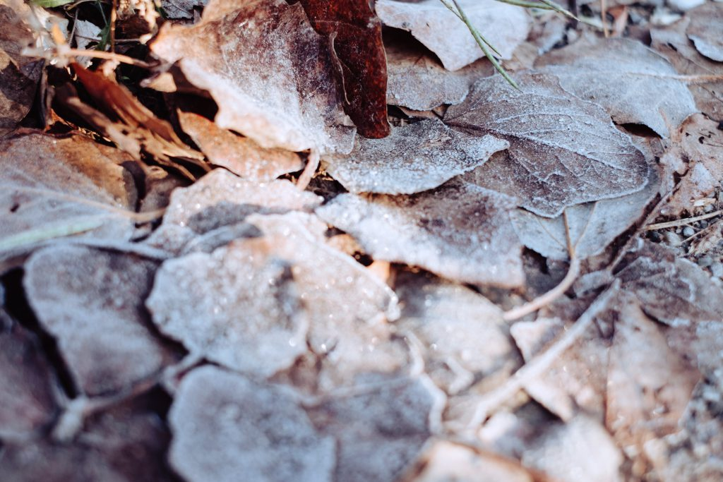 Frosted leaves 10 - free stock photo