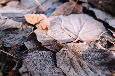 Frosted leaves 11 - free stock photo