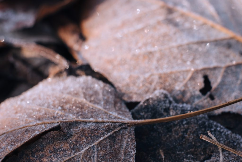 Frosted leaves closeup 3 - free stock photo