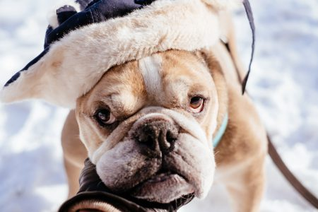 English Bulldog wearing a winter hat closeup - free stock photo
