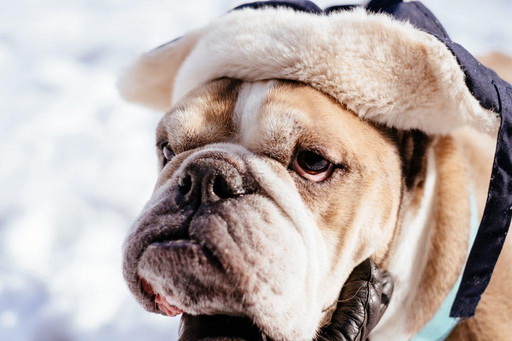 English Bulldog wearing a winter hat closeup 2 - free stock photo
