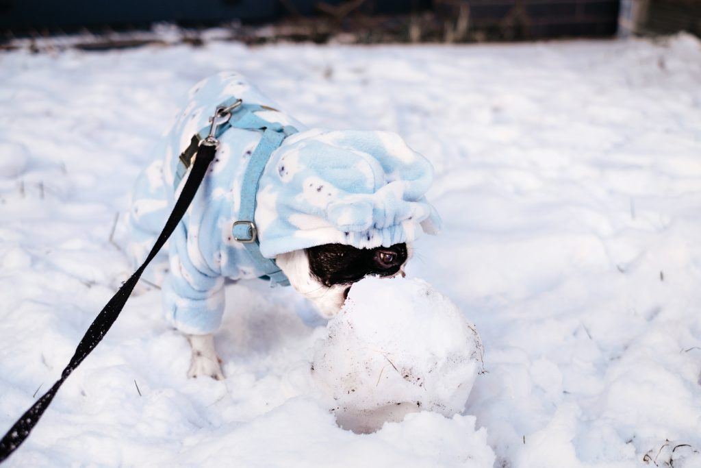French Bulldog eating snow in a blue fleece onesie - free stock photo