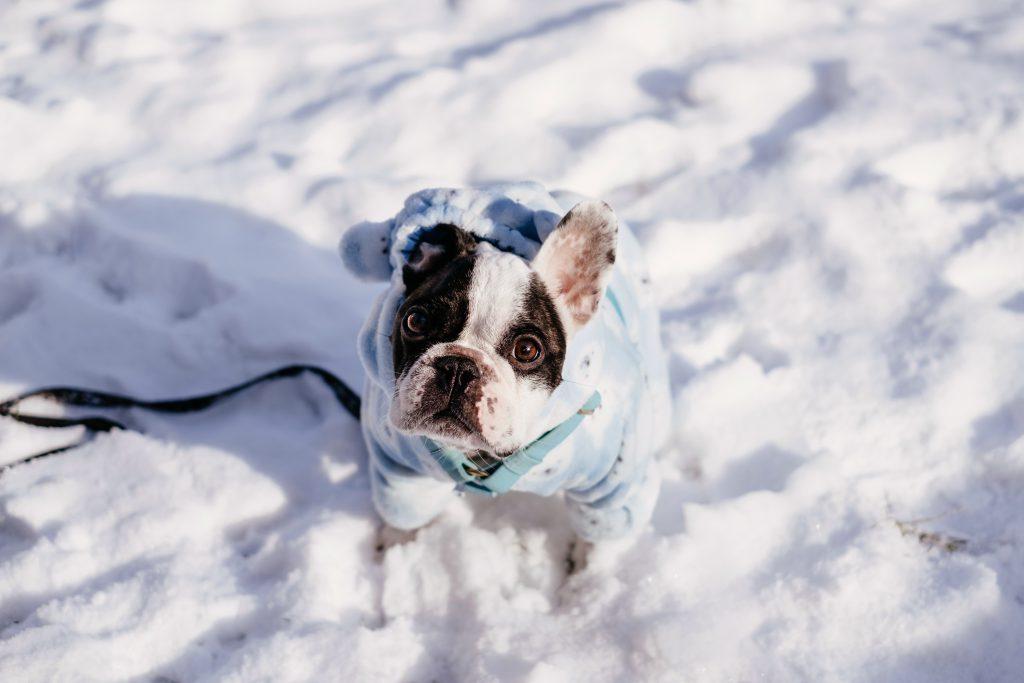 French Bulldog wearing a blue fleece onesie in winter - free stock photo