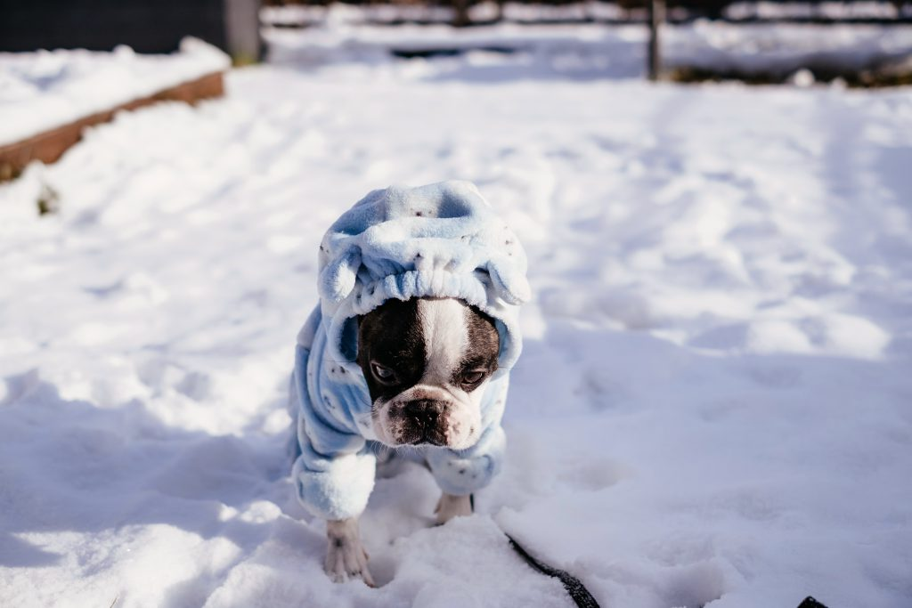 French Bulldog wearing a blue fleece onesie in winter 2 - free stock photo