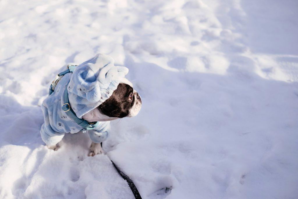 French Bulldog wearing a blue fleece onesie in winter 3 - free stock photo