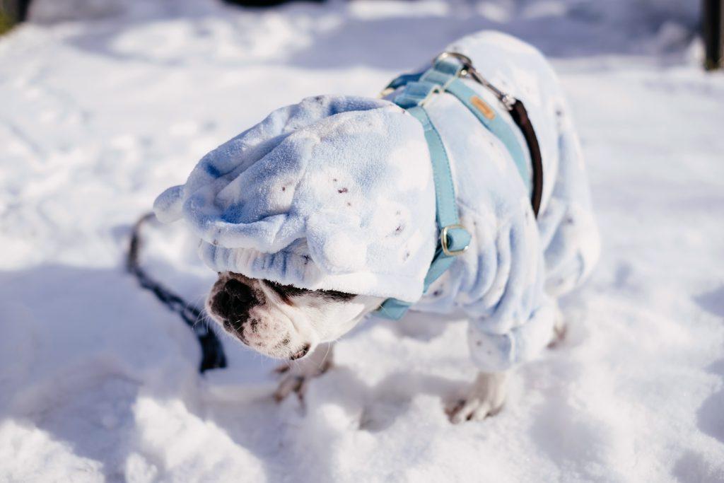 French Bulldog wearing a blue fleece onesie in winter 4 - free stock photo