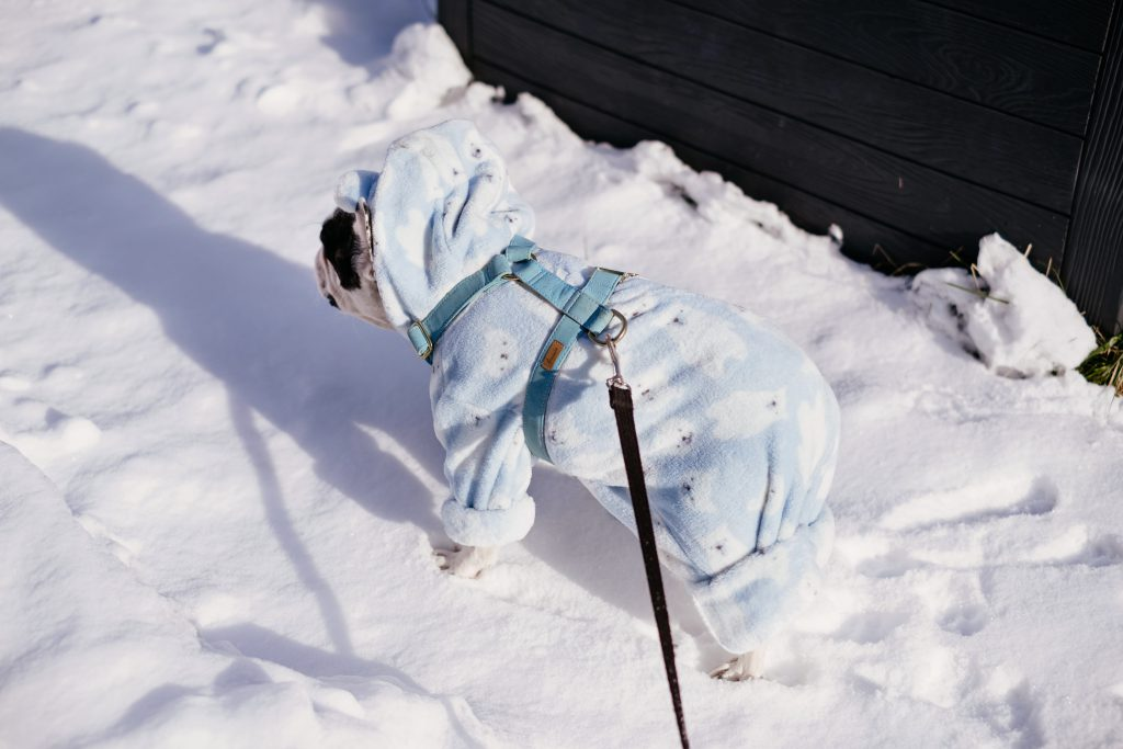 French Bulldog wearing a blue fleece onesie in winter 6 - free stock photo