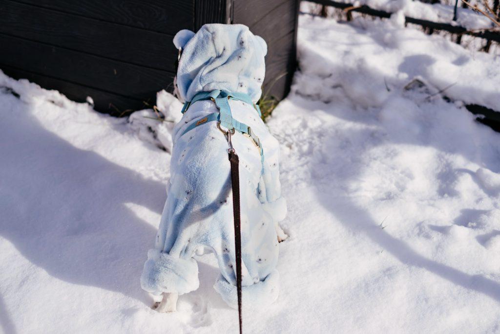 French Bulldog wearing a blue fleece onesie in winter 7 - free stock photo