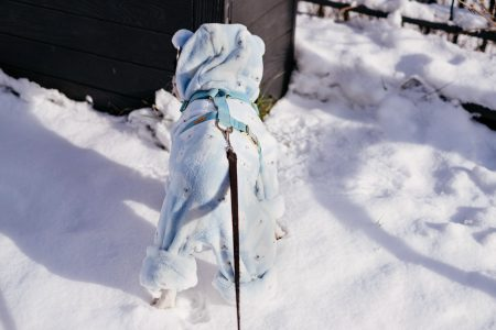 French Bulldog wearing a blue fleece onesie in winter 7 - free stock photo