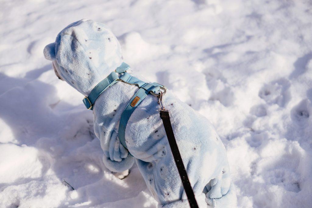 French Bulldog wearing a blue fleece onesie in winter 8 - free stock photo