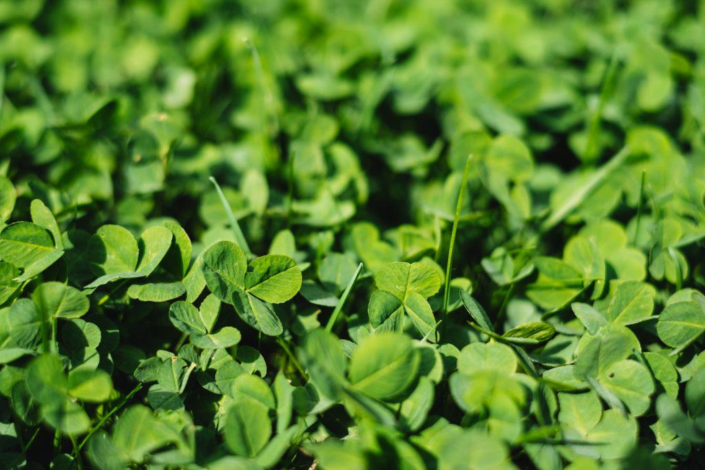 Green clover - free stock photo