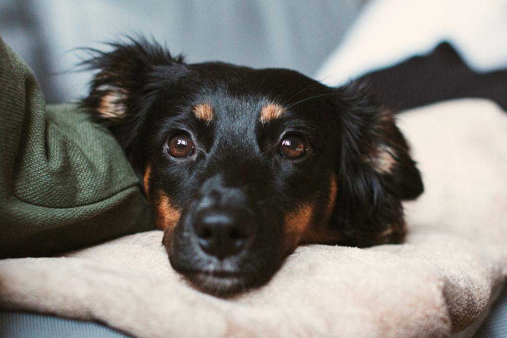 Mixed breed dog lying on the sofa 10 - free stock photo