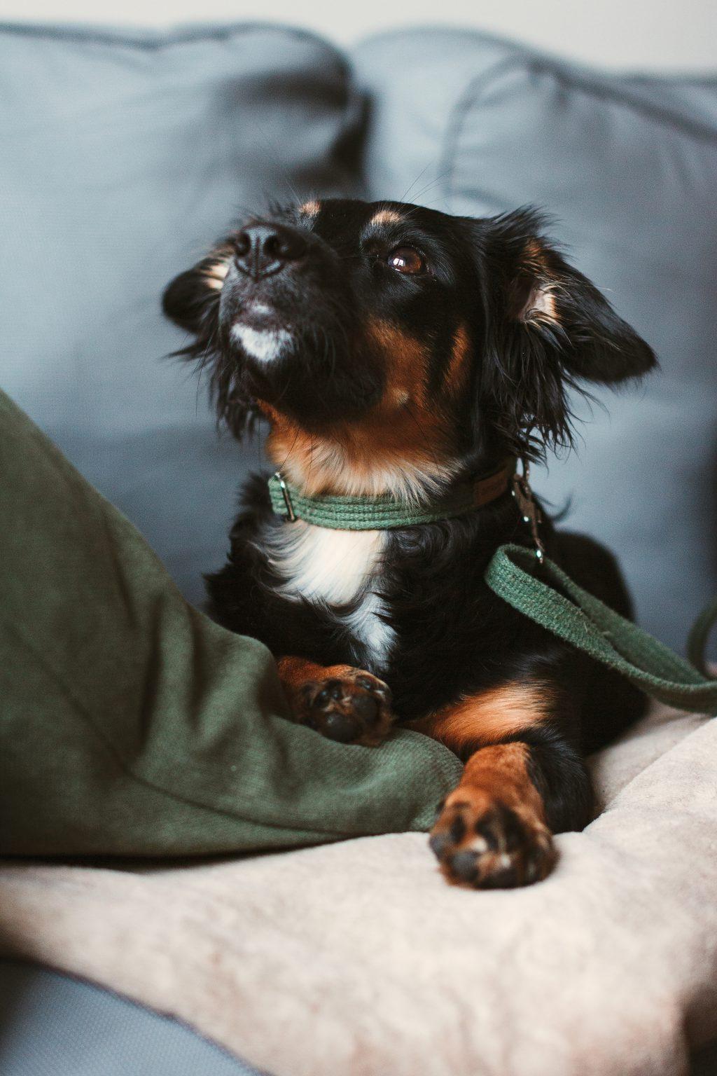 Mixed breed dog lying on the sofa 3 - free stock photo