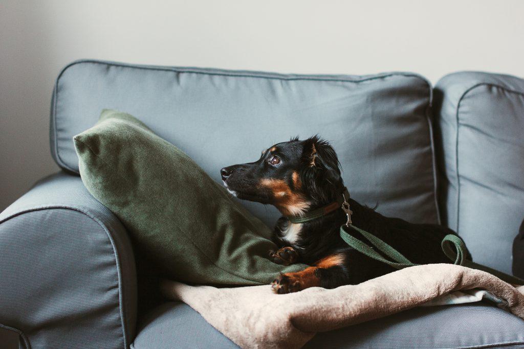 Mixed breed dog lying on the sofa 5 - free stock photo
