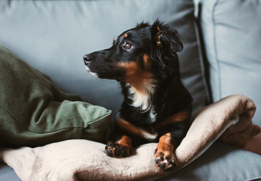 Mixed breed dog lying on the sofa 8 - free stock photo
