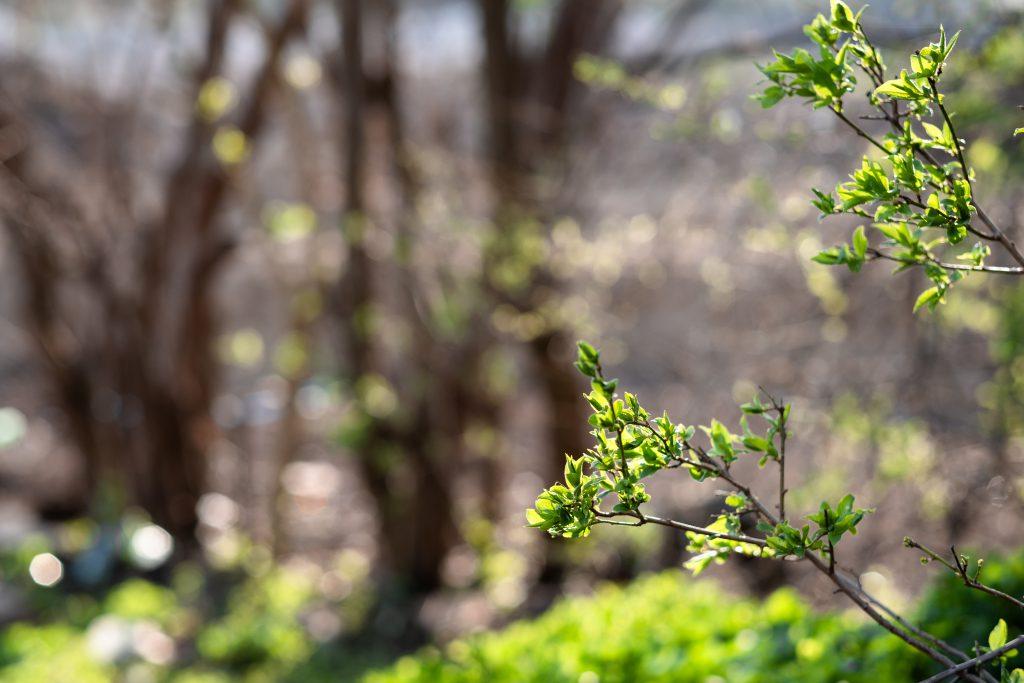Spring twigs - free stock photo