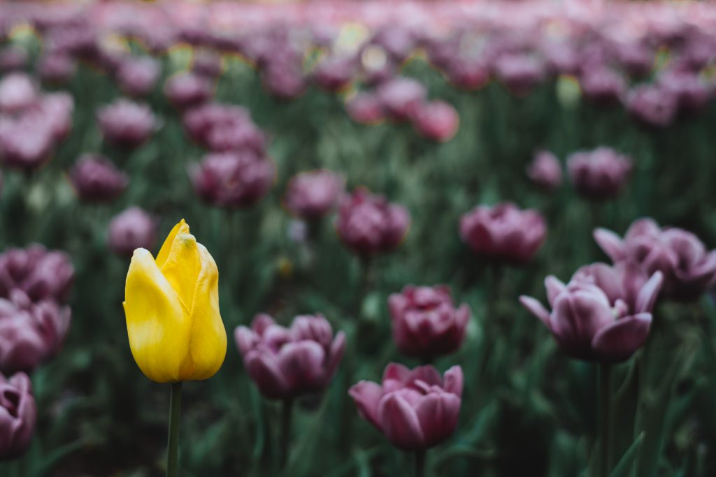 Tulip field - free stock photo